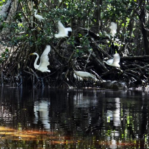 During our Celestun flamingo tour, white egrets fly along the mangrove forest.