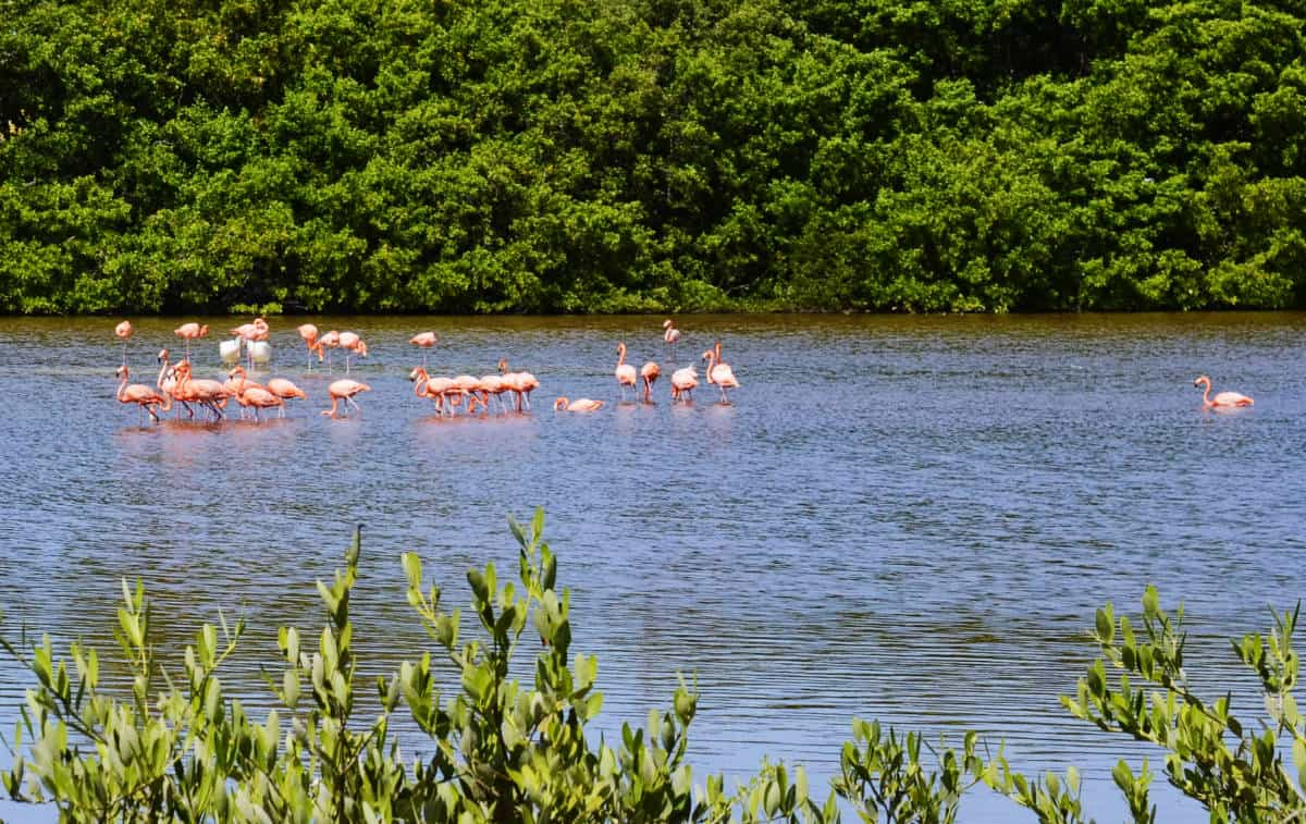 A flock of flamingos you can see during your Celestun tour in the Yucatan.