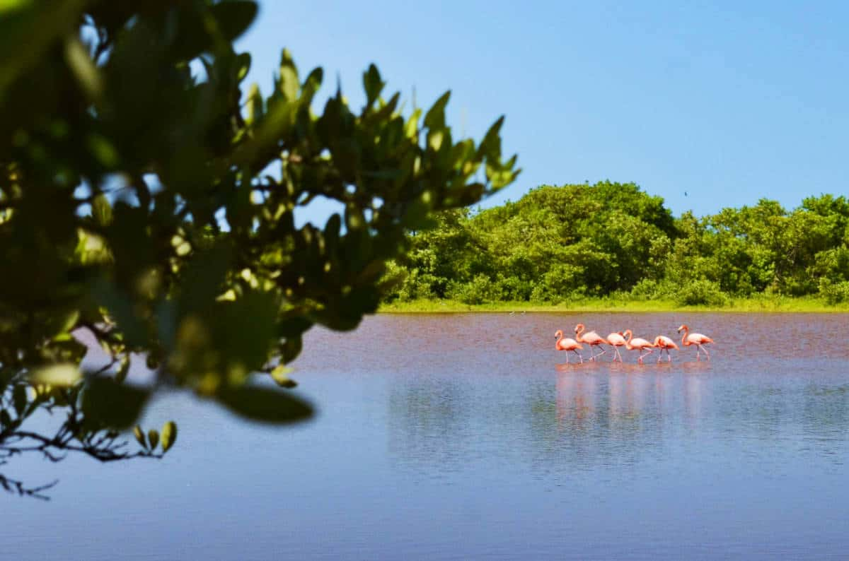 Flamingos migrate to Celestun in the winter to feed. Three flamingos spotted during our Celestun tour in the Yucatan.