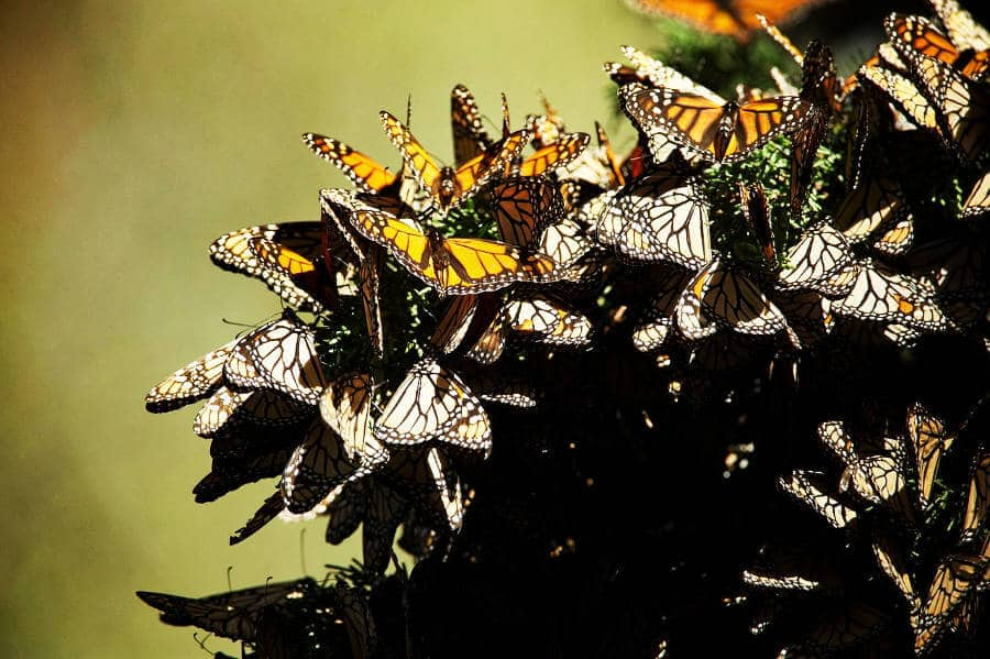 Many Day of the Dead decoration include monarch butterflies. Here they are seen after migrating to Mexico.